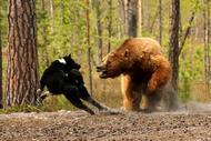 Медведь. охота.  Теги. ссылка. фотомир.