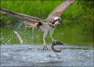 Fishing of Osprey: Промах ... (Vladimir Kogan)