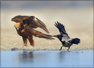 Marsh Harrier: А я говорю - делись ! (Vladimir Kogan)