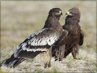 Greater Spotted Eagle: portraits (Vladimir Kogan)