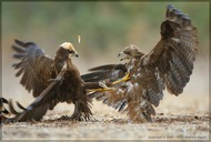 Fight of Marsh Harrier and Black Kite (Vladimir Kogan)