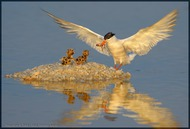 Common Tern: on Breakfast of baby (Vladimir Kogan)