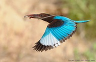 White-throated kingfisher (Vladimir Kogan)