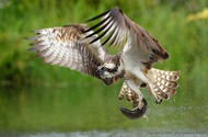 Osprey Catching fish (Vladimir Kogan)
