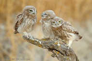 Little Owl: Triple portrait (Vladimir Kogan)