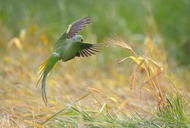 Rose-ringed Parakeet (Vladimir Kogan)