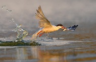 Common Tern: Catching a Fish