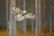Ural Owl in flight (Vladimir Kogan)