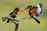 White throated kingfisher Feeding (Vladimir Kogan)