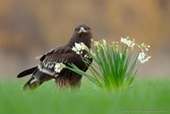 Greater Spotted Eagle (Vladimir Kogan)