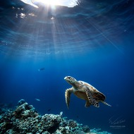 Maldivian dreams. Loggerhead (Willyam Bradberry)
