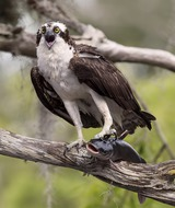 Скопа с  добычей - Osprey with Catfish (Elizabeth E.)