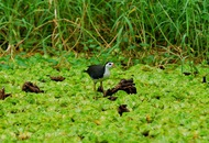The White Breasted Waterhen (Amaurornis phoenicurus) (Evgeny Kotelevsky)