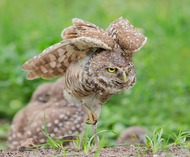Сыч - Burrowing Owl (Elizabeth E.)