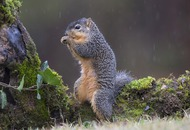 Лисья белка - Fox Squirrel in rain