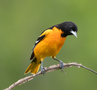 Baltimore Oriole. Балтиморская иволга или Балтиморский цветн...