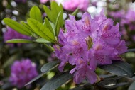 Rhododendron (Аldis)
